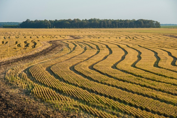 2017 harvest Delta Blues Rice-59